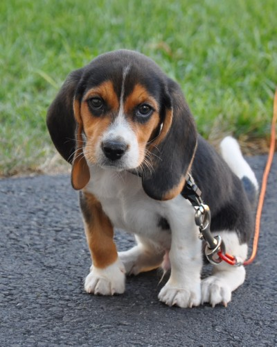 Facts About the Blue Tick Beagle a Rather Rare Dog Breed